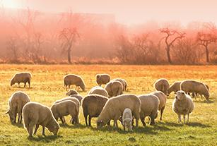 Povljana lamb